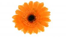Gerbera - oranžová