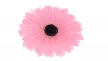 Gerbera - růžová