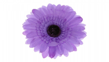Gerbera - tm. fialová