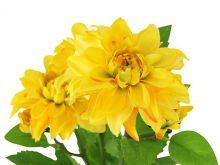 Jiřina - žlutá