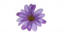 Jiřina - fialová