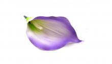 Kala pěnová - fialová