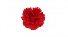 Karafiát - červená