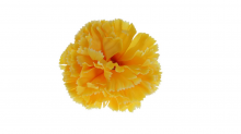 Karafiát - žlutá