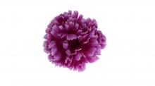 Karafiát - fialová
