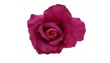 Růže - fialová