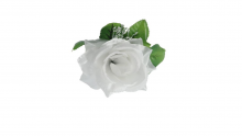 Růže - bílá