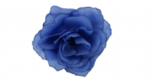 Růže - modrá