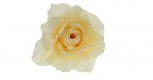 Růže - tm. krémová