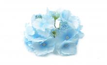 Hortenzie - modrá