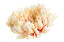 Chryzantéma - růžová