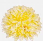 Chryzantéma - vazbová květina