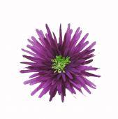 Chryzantéma - fialová